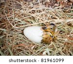 Hatching of a yellow duckling out of his egg - stock photo
