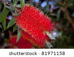 Red Bottlebrush Flower In Bloom