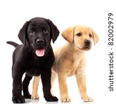 Stock photo two cute labrador puppies one with mouth open and one looking away 82002979