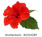 A Red Hibiscus Flower Isolated...