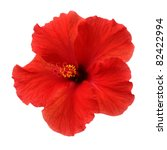 Stock photo a red hibiscus flower isolated on white background 82422994