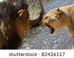 lioness(Panthera leo) roars at young mail - stock photo