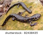 Small photo of Eastern Tiger Salamander, Ambystoma tigrinum and smallmouth salamander, Ambystoma texanum