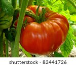 red giant tomato ripening on... | Shutterstock . vector #82441726