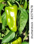 Plant of growing green pepper - stock photo