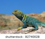Male Collared Lizard