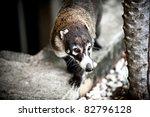 Image Of A Coati In Costa Rica