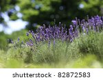 lavender flowers blooming in a... | Shutterstock . vector #82872583