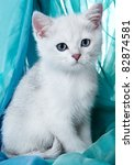 Stock photo kitten of the british breed rare coloring a silvery chinchilla 82874581