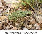 Western Green Toad, Anaxyrus debilis insidior