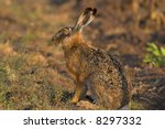 Stock photo picture of a hare sitting in a field the photo was taken in the early morning 8297332