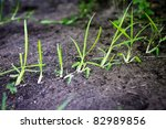 St. Augustine grass sprouts spreading over lawn dirt - stock photo
