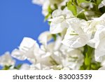 Tropical Bougainvillea White...