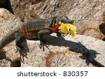 Iguana Eating A Flower