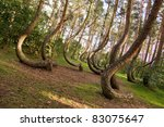 Curved Forest Reserve In Poland