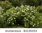 Big Shrub Of White Hydrangea I...