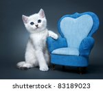 Stock photo kitten of the british breed rare coloring a silvery chinchilla 83189023