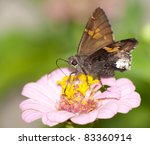 Hoary Edge Butterfly On Pink...