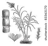 sugar cane  vintage engraved...   Shutterstock .eps vector #83363170