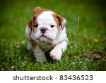 Stock photo english bulldog puppy 83436523