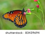 Beautiful Queen (Danaus gilippus) butterfly posed on a red flower feeding - stock photo
