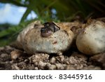 Pythons Hatching In The...
