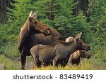 Moose Cow With Calves Alces...