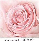 Close Up Of Fresh Pink Rose...