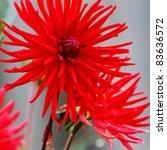 red dahlia buds on grey