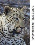 Large male leopard resting in savanna bushland - stock photo