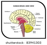 Human Brain Diagram   Side View ...