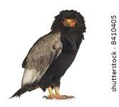 bateleur  10 years  terathopius ... | Shutterstock . vector #8410405