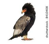 bateleur  10 years  terathopius ... | Shutterstock . vector #8410408