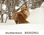 Red Fox  Vulpes Vulpes  In Dee...