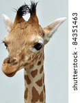 giraffes isolated | Shutterstock . vector #84351463