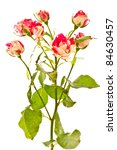 flowering bush of red roses on a white background - stock photo