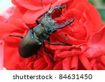 Beetle On The Rose
