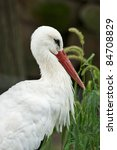 White Stork portrait view (Ciconia ciconia) - stock photo