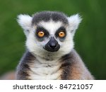 Close Up Portrait Of Lemur...