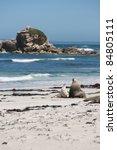 Sea Lions On A Beach  Kangaroo...