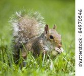 tree squirrel in the grass that ... | Shutterstock . vector #84970546