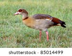 Egyptian Goose On The Green...