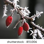 Hoarfrosted Berries