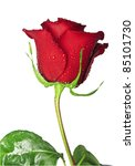 Flower Of Scarlet Rose With...