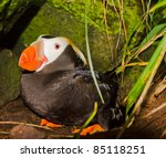 Small photo of Tufted Puffin (Fratercula cirrhata, auk, Alcidae) in burrow under stones (nest) incubates. Visible funny head, strange bill. Far East of Russia. (Commander Islands, Pacific ocean)