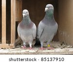Homing Pigeon  The Homing...