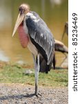 Close Up Marabou Stork