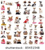 Stock photo group of chihuahua in situation in front of white background 85451548