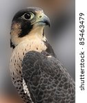 Portrait of Peregrine Falcon - stock photo