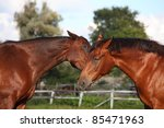 two brown horses playing with... | Shutterstock . vector #85471963